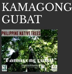"""KAMAGONG GUBAT (Diospyros philippinensis) Due to the over exploitation for its black ebony, this tree is classified as 'Endangered' in the IUCN Red List of Threatened Species (2013). """"Protect our trees, our forests- our source of life!"""" #PhilippineNativeTrees #NativeTrees#Rainforestation #ForestProtection (Useful Tropical Plants Database 2014 by Ken Fern) April 19, 2016 Forest Plants, Wood Tree, April 19, Flowering Trees, Tropical Plants, Forests, Landscape Architecture, Trees To Plant, Philippines"""