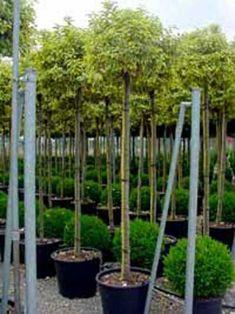 Guter hoher Sichtschutz, immergrün, extrem winterhart! Prunus ...