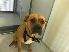 Kansas City, MO - American Pit Bull Terrier Mix. Meet Oaklyn, a dog for adoption. http://www.adoptapet.com/pet/18802176-kansas-city-missouri-american-pit-bull-terrier-mix
