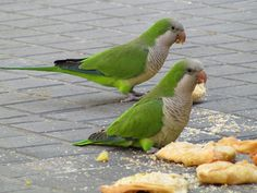 barcelona-parrots in the square-2010 by kelvinhayes, via Flickr