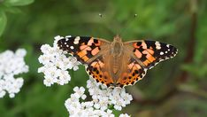 Vanessa Cardui, Closer To Nature, Picture Video, Butterflies, Insects, Wallpaper, Friends, Pictures, Animals