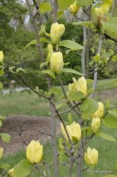 Magnolia x 'Yellow Bird' - Hess Landscape Nursery - Finleyville, Pennsylvania