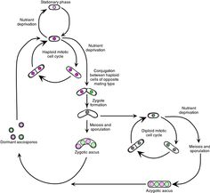Yeast Genetics Fig. 3. The Schizosaccharomyces pombe cell