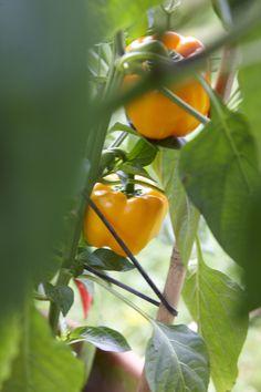 Paprika - Süße Schoten ordentlich pflanzen • Pflanzen Tipps & Tricks • 99Roots.com