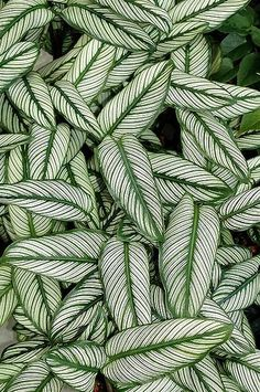Calathea ornata cultivar * Real Pattern * The Inner Interiorista Green Plants, Tropical Plants, Tropical Leaves, White Plants, Green Garden, Patterns In Nature, Textures Patterns, Nature Pattern, Leaf Patterns
