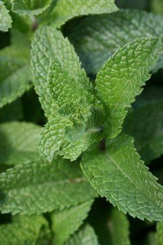 Mint - Mint  Mint — the best herbal tea for winter, and the best plant for indoor planting.  There are many subspecies also called mint. This includes plants suitable for cooking with dry beans, plants suitable for baking with meat, others suitable for extracting fragrant oils for perfumery and scent lamps, and dozens more.  All these subspecies have a few things in common: They make the air easier to breathe if you have lung disease. They have a very pleasant aroma.