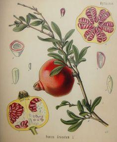 O Botânico Aprendiz na Terra dos Espantos: Ilustrações botânicas (IV)*
