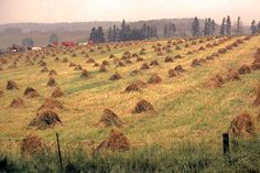 Grain stooks in Mennonite country Huron County, Where The Heart Is, Ontario, The Row, Vineyard, Photographs, Around The Worlds, Canada, Country
