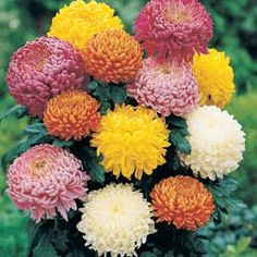 Chrysanthemum Incurved Mixed Chrysanthemum 'Incurved Mixed' Half-hardy Perennial Sturdy stems bear rounded blooms, perfect for long-lasting flower arrangements. This vibrant collection will reward you with blooms right through until the frosts. Disbudding the stems will produce fewer, but larger blooms, or let them grow naturally for a mass of smaller flowers. Height: 90cm. Spread: 45cm.  Companion planting: Try growing Chrysanthemums with chives, whose aromatic leaves will deter aphids.