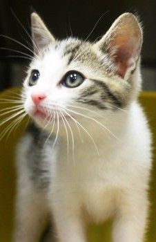 Rescued! Come on people only 19$ for this beautiful girl!!  Iris: Adorable 1-month-old tabby kitten needs out of high-kill upstate shelter