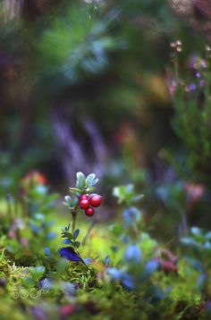 Lingonberry shrub with berries in a dark forest by Viktor Schneider on Bokeh Photography, Beauty Photography, Wedding Photography, Flower Wallpaper, Nature Wallpaper, Photographie Macro Nature, Terre Nature, Love Backgrounds, Arte Floral