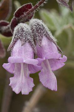 Pitcher Sage -Lepechinia calycina