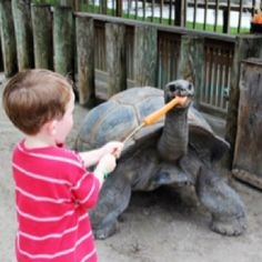 Carrot on a stick for 120 yr old turtle fed by 3 yr old G.  Gatorland Orlando
