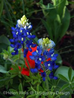 Texas bluebonnet. Photo by Helen Weis