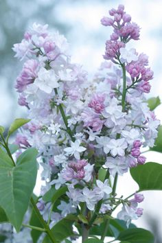 Beautiful pale Lilac - My site Lilac Flowers, Exotic Flowers, Spring Flowers, Beautiful Flowers, Lilac Bushes, Flower Aesthetic, Flower Images, Trees To Plant, Beautiful Gardens