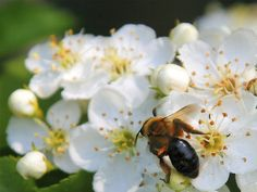Dangerous volumes of neonicotinoid insecticides and other pesticides are expressed in common wild flowers like buttercups and hawthorn blossom in countryside under arable cultivation, a new study has discovered. The discovery invalidates the UK government's 'pollinator strategy' based on creating 'safe havens' in arable areas - because the havens are in fact loaded with pesticides.