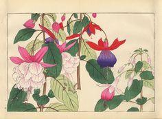 Tanigami, Konan, Japan Fuchsia (700x516, 125Kb)