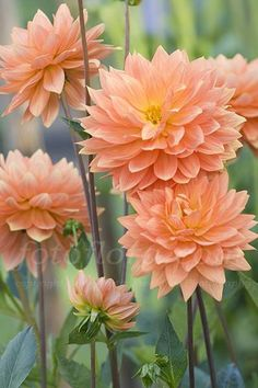 Dahlia 'Gwyneth' I'm pretty sure ... Dahlias are hungry plants prefering rich free-draining soil with lots of organic matter & will need feeding by midsummer; Tubers can easily be saved over winter - let the pl die down after the 1st hard frosts, pull them all out, wash & dry a bit, then re-pot all together in a big container into sterile soil ... propagation & #1st year flowering from seed too, but colours don't always come true so are often sold in mixes