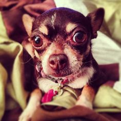 chihuahua Eyes - what big eyes you have #redridinghood #dog <3 dogs