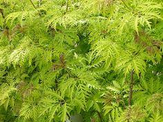 Punane leeder ''Sutherland Gold '' Kõrgus 1,5-2 m, laus 2 m.  Lehed lõhistunud.  Noored lehed algul pronksjad, hiljem säravkollased.  Õied rohekaskollased, tihedates püstistes pöörisjates õisikutes, õitseb juunis - juulis .  Dekoratiivsed läikivad oranžpunased marjad valmivad septembris ja on söödavad (seemned mürgised!).  Kiirekasvuline ja külmakindel. Talub tugevat noorenduslõikust.  Ideaalne kasvukoht täispäikeseline. Mullastiku suhtes leplik.