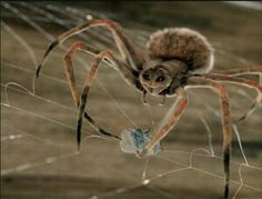 Magnificent spider babies parachute to earth, just like the 2005 film Charlotte's Web. Spider Spray, Spider Species, Spider Baby, Backyard Trees, Charlottes Web, Australian Plants, Anne Of Green Gables, Science And Nature, Beautiful Creatures