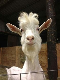 this goat looks like a friendly wizard