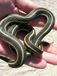 Narcisse, Manitoba houses thousands of garter snakes that slither out of the caves in springs.