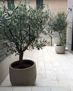 olive trees in pots
