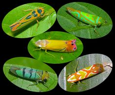 5 tiny cicadellid leafhoppers from the Amazon rainforest, Peru