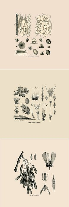 Old botanical drawing from designlovefest Would make a great print!