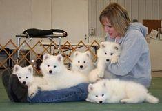 Sweet Samoyed puppies #samoyedpuppies