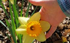 Huge daffodil at Gibbs' Garden (located near Ball Ground GA - Mar 2016).