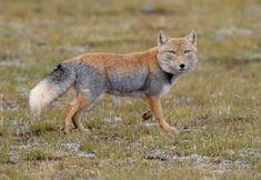 Tibetan Fox.