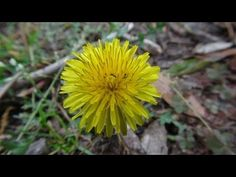 Wild Edible Plants: Cure Cancer, Depression, And High Blood Pressure (Video).