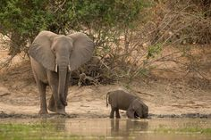 Baby Elephant Learns Why You Don't Stick Your Whole Trunk In The Water