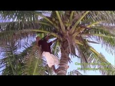 The Coconut Man - Belize   Check it out: http://travelexperta.com/2012/05/swimming-with-sharks-in-belize-video-of-the-week.html#