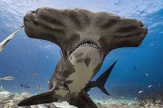 Underwater Creatures, Underwater Life, Ocean Creatures, Orcas, Water Animals, Animals And Pets, Beautiful Creatures, Animals Beautiful, Shark Pictures
