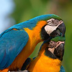 Blue and Gold Macaws Tropical Birds, Exotic Birds, Colorful Birds, Beautiful Birds, Animals Beautiful, Cute Animals, African Grey Parrot, Kinds Of Birds, Parrot Bird