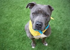KELSO - A1107959 - - Manhattan  TO BE DESTROYED 04/25/17  A volunteer writes: Upfront in his kennel, watching me with his gorgeous amber eyes, who could resist? Certainly not me! Leashed easily, we head outside where Kelso potties immediately, and we're off for a short walk before heading into the yard for off leash time. He snuggles, he plays, he zoomies, he kisses and he snuggles some more. Kelso amuses himself with a soft toy…a toss, a chase and another toss,