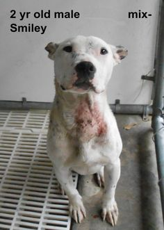 ***SUPER URGENT!!!*** - PLEASE SAVE ME!! - EU DATE: 7/27/2014 -- smiley  Breed: Terrier (mix breed) Age: Adult Gender: Male  Size: Medium,  hasShots,  - ,,,,,Silvia is 910-876-0539 and Debbie is 339-832-0806. If Silvia's mailbox is full you can Text her. Transportation is generally available up and down the East Coast from NC, VA, MD, NJ, PA, NY and the North East.