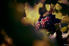 Grape on its vine Raisin rouge sur sa vigne #wine #grape #wine #vigne #vin ©Sebanado