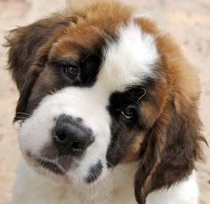 have 3 dogs. including a saint bernard. Puppies And Kitties, Cute Puppies, Cute Dogs, Doggies, Big Dogs, I Love Dogs, Giant Dogs, Beautiful Dogs, Animals Beautiful