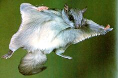 Northern flying squirrels are one of only two flying squirrel species in the world, the other being the southern flying squirrel. Squirrel Pictures, Animal Pictures, Flying Squirrel Pet, Squirrel Species, Reptiles, Mammals, Animals And Pets, Cute Animals, The Wooly