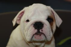 Oliver, my bulldogs love <3