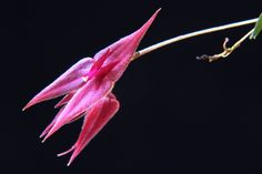 Lepanthes trichidion - Flickr - Photo Sharing!