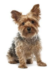 Recommended For Si Recommended For Singles Families Maintenance Level Low Medium L Yorkshire Terrier Dog Yorkshire Terrier Puppies Brown Dog Names