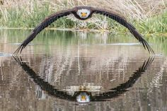 Amateur photographer Steve Biro was shooting at the Canadian Raptor Conservancy in Ontario last week when he managed to capture this remarkable photo of a bald eagle flying straight at him with a perfectly symmetrical reflection in the water below. Photo Glamour, Glamour Shots, Chernobyl, Bald Eagle Pictures, Baba Yaga, Colossal Art, Biro, Wildlife Photography, Reflection Photography