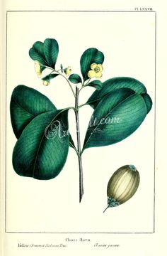plants-08767 Yellow flowered Balsam Tree, clusia flava  botanical floral botany natural naturalist nature beautiful nice flora plants blooming ArtsCult.com Artscult ArtsCult vintage printable public domain 300 dpi commercial use 1800s 1700s 1900s Victorian Edwardian art clipart royalty free digital download picture collection pack paintings scan high qulity illustration old books pages supplies collage wall decoration ornaments Graph