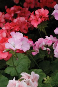 Add a splash of color to your summer garden with geraniums. These plants produce lovely flowers with lacy-looking foliage.