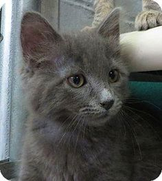 Marcus - Domestic Medium Hair-gray • Baby • Male • Small  Humane Society of Middletown New York Middletown, NY  Cute kitten around 5 months old. Marcus tested positive for FeLv (feline leukemia) so he needs a special home...